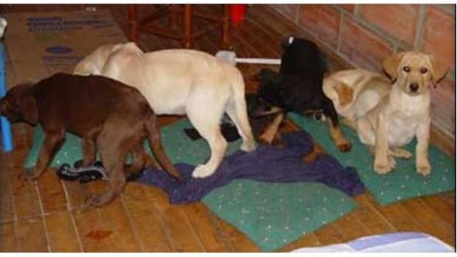 Prosecutors: Veterinarian performed surgery to turn puppies into drug mules