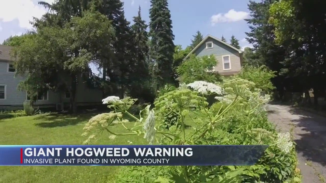 Giant Hogweed Michigan Map.Dangerous Giant Hogweed Plant Found In Wyoming County