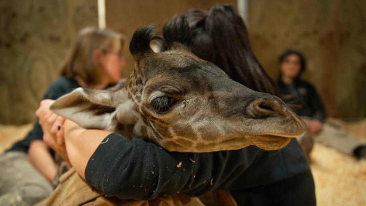 Baby giraffe dies at Columbus Zoo