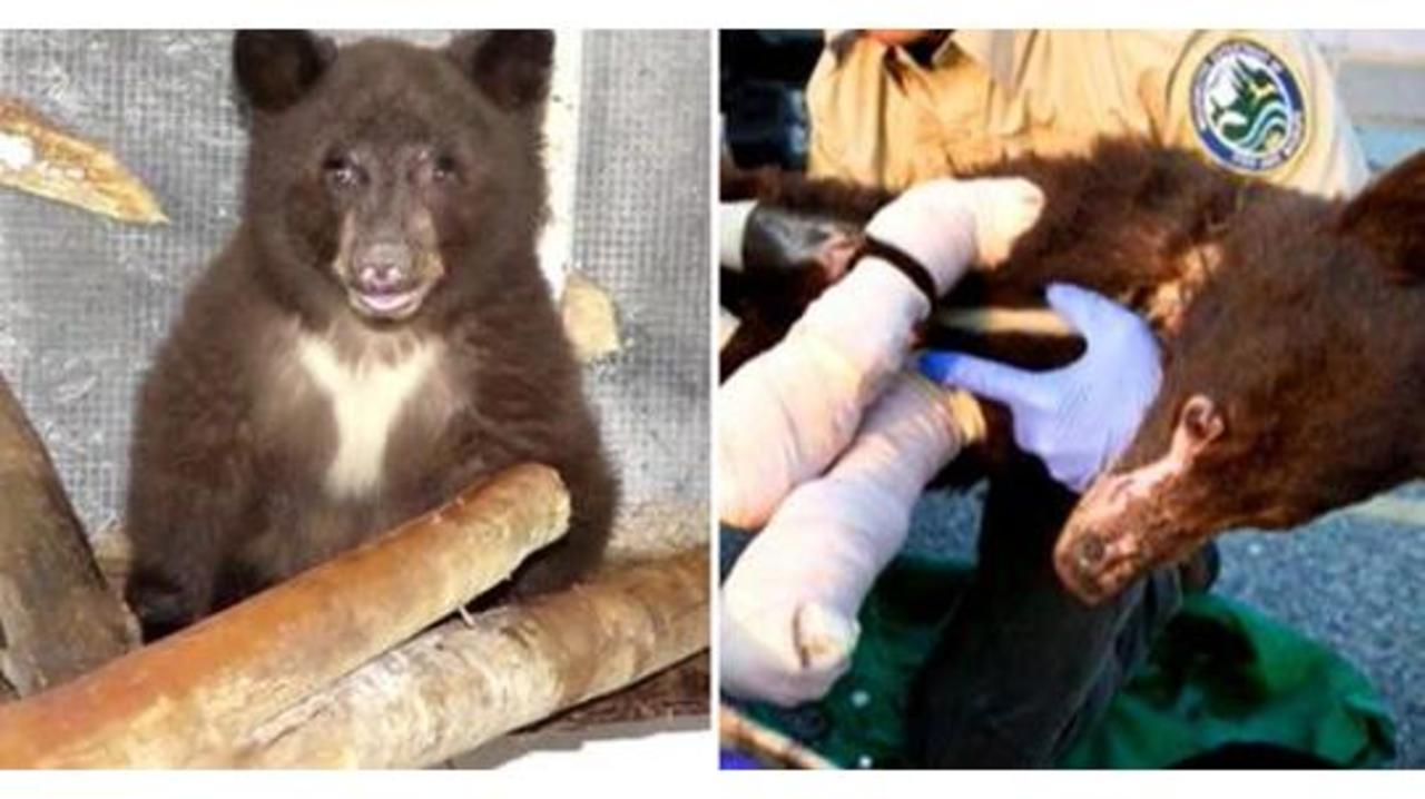 Bear that recovered from wildfire burns is killed by hunter