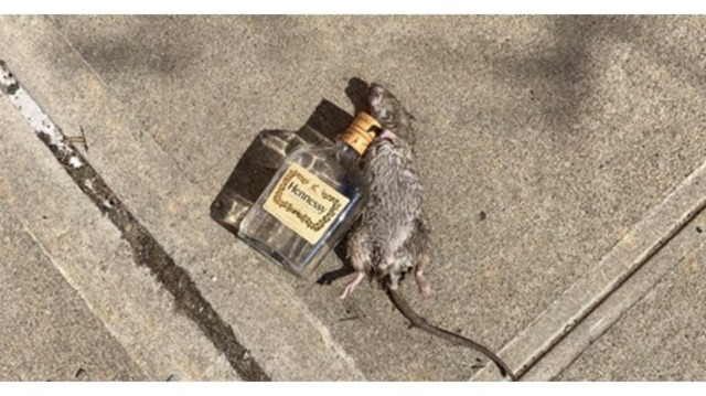Rat lying next to an empty bottle of Hennessy becomes viral
