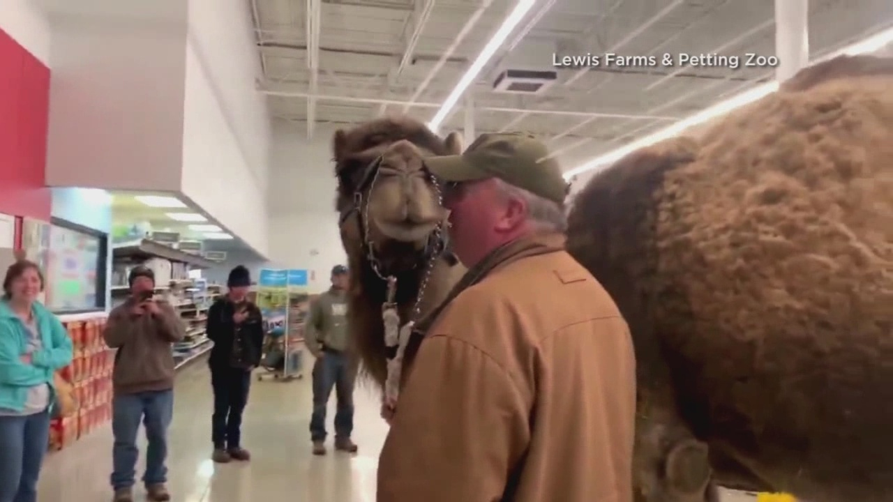WATCH: Camel goes to Petsmart