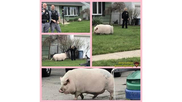 Amherst Police reunite pet pig with owners after it got out