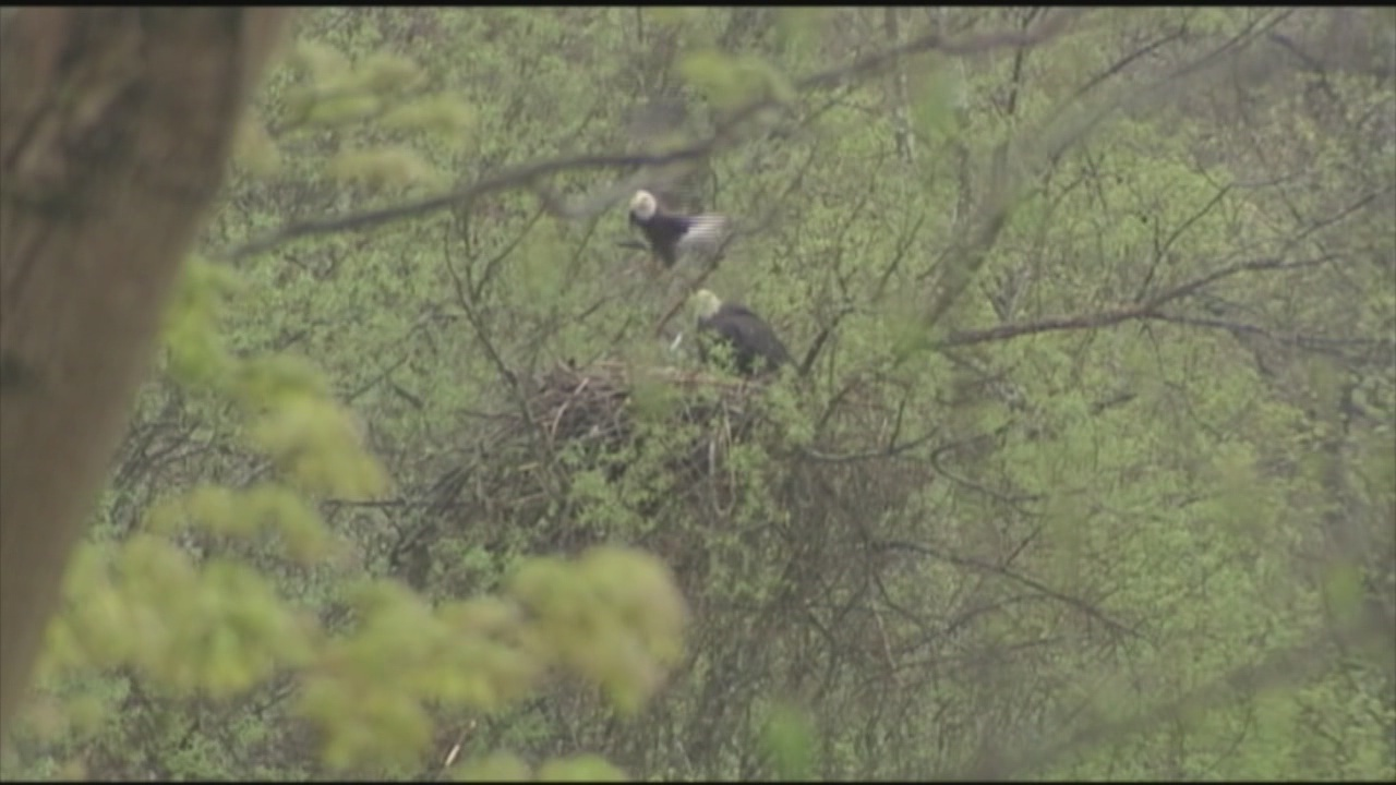 Bald eagle population continues to thrive in WNY