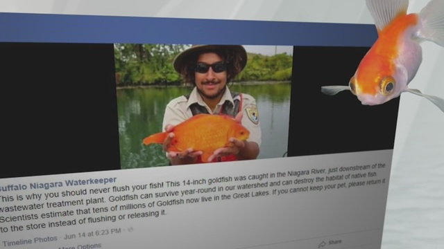 Facebook post of giant goldfish, reinforces the environmental dangers of flushing pets